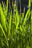 Gröna små sidor av liljan i morgon tänder Royaltyfri Bild