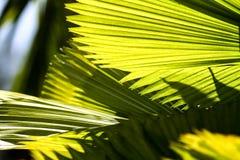 Gröna solfjäderformiga sidor av en palmträd royaltyfri foto