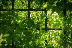 gröna solljusvines för stråle Royaltyfria Bilder