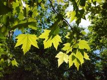 Gröna sommarsidor av sykomorträdet Arkivbilder