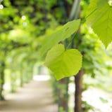 Gröna sommarsidor i gör grön trädgården Arkivbilder