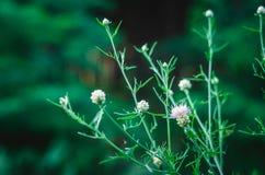 Gröna stjälk och knoppar av lösa lösa blommor stänger sig upp mot bakgrunden av det gröna skogstället för text på rätten Mjuk foc fotografering för bildbyråer