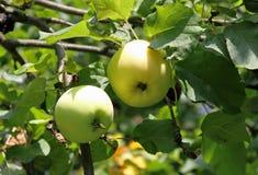 Gröna stora äpplen på en filial Fotografering för Bildbyråer