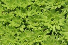 Gröna suckulenter från vagga-trädgård royaltyfria foton