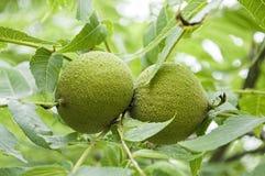 Gröna svarta valnötter på trädet Arkivfoton