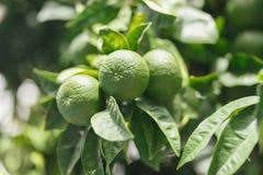 Gröna tangerin på trädet Royaltyfri Foto