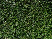 Gröna teblad i solljus Arkivfoto