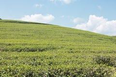 Gröna teblad och sparat på blå himmel arkivfoton