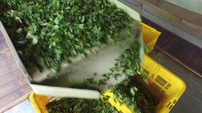 Gröna teblad som faller från maskinen till korgar lager videofilmer