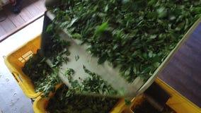 Gröna teblad som faller från maskinen till korgar stock video