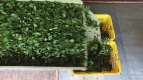 Gröna teblad som faller från maskinen till korgar arkivfilmer