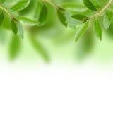 Gröna tjänstledighetar Royaltyfri Bild