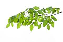 Gröna tjänstledigheter, grönt blad Royaltyfri Bild