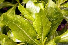 Gröna tjänstledigheter med daggdroppen Fotografering för Bildbyråer