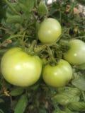 Gröna tomater royaltyfri bild