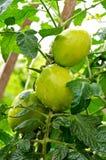 Gröna tomater Royaltyfri Foto