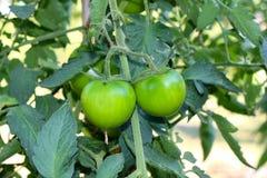 gröna tomater Royaltyfria Bilder