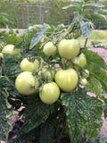 gröna tomater Arkivfoton