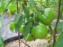 gröna tomater Royaltyfri Fotografi