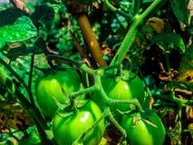 gröna tomater Royaltyfria Foton