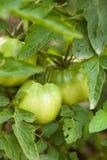 Gröna tomater för bulgar Royaltyfri Bild