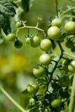 gröna tomater för Cherry Royaltyfria Foton