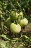 Gröna tomater i en trädgård Arkivbild