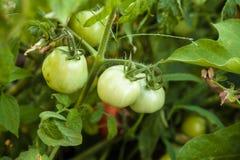 Gröna tomater på busken Royaltyfria Foton