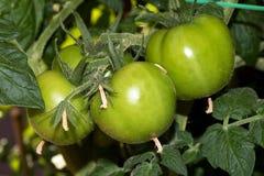 Gröna tomater på en buske royaltyfri fotografi