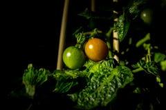 Gröna tomater som är orange och Arkivfoto