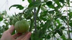 Gröna tomater växer i växthuset arkivfilmer