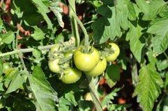 Gröna tomatfrukter Royaltyfri Fotografi