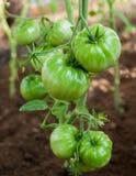 Gröna tomatväxter i växthus Royaltyfria Foton