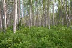Gröna träd för likformig Arkivbild
