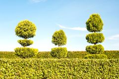 Gröna träd för Topiary med häcken på bakgrund i dekorativa garde Royaltyfri Bild