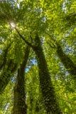 Gröna träd för tusen dollar med vinrankor som hela vägen klättrar upp till canoen Fotografering för Bildbyråer
