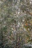 Gröna träd i gården under första snö Royaltyfri Fotografi