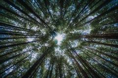Gröna träd i skogen som underifrån beskådas arkivbilder