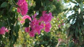 Gröna träd och blommor som är rosa mot blå himmel och skinande soldjungel Sikt i tropisk skogblommabakgrund materiel arkivfilmer
