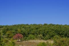 Gröna träd och ensamt blomstra träd Royaltyfria Bilder