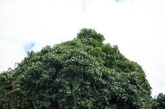 Gröna trädblad på himmel Royaltyfri Foto