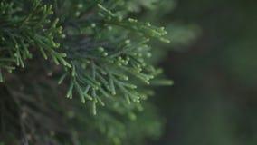 Gröna trädfilialer av sörjer familjen royaltyfria bilder