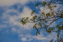 Gröna trädfilialer på blå himmel och vit fördunklar bakgrund Silh arkivbild