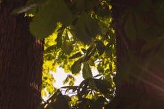 Gröna trädfilialer som är kastanjebruna mellan för naturabstrakt begrepp för två stammar bakgrund i solig skog Arkivbilder