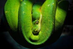 Gröna trädpytonormMorelia viridis royaltyfri bild