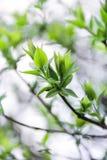 Gröna trädsidor i vår Fotografering för Bildbyråer