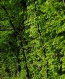 Gröna trän i sommar Arkivfoto