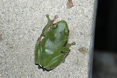 Gröna Treefrog är Taiwan endemiskart Fotografering för Bildbyråer