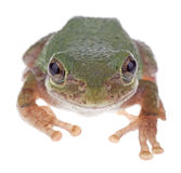 Gröna Treefrog, cinerea Hyla Royaltyfri Foto