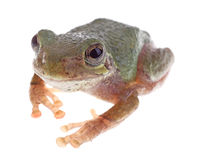 Gröna Treefrog, cinerea Hyla Arkivbilder